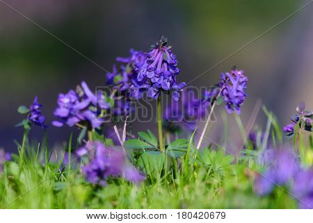 On the spring lawn among the young green grass blossomed little blue flowers.