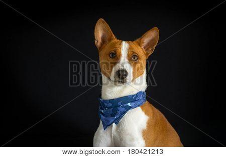 Portrait of stylish basenji dog male wearing blue kerchief