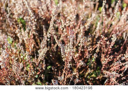 Erica Carnea in brown and green colors, close up photo