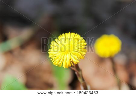 Yellow Coltsfoot flower with blured forest background