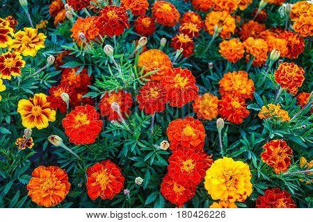 Beautiful flowers of calendula marigolds in the garden.