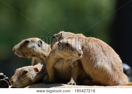 Large group of prairie dogs all huddled together.
