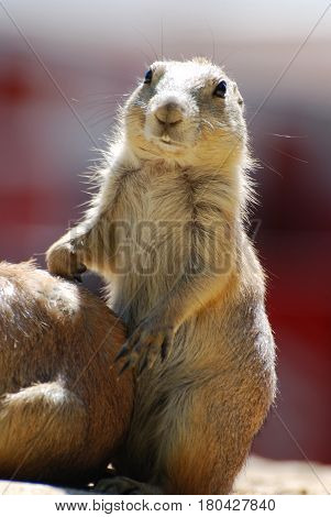 Really cute black tailed prairie dog with buck teeth.
