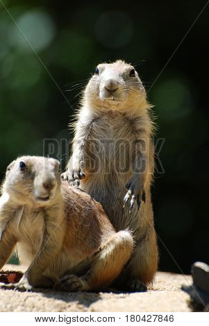 Pair of prairie dogs hanging out together.