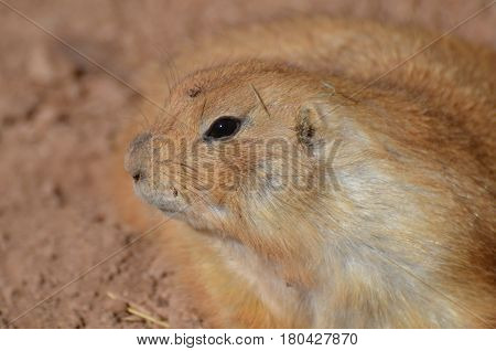 Adorable profile of a prairie dog playing in dirt.