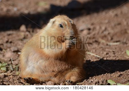Adorable large overweight prairie dog sitting in a pile of dirt.