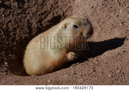 Adorable black tailed prairie dog climbing up out of a hole.
