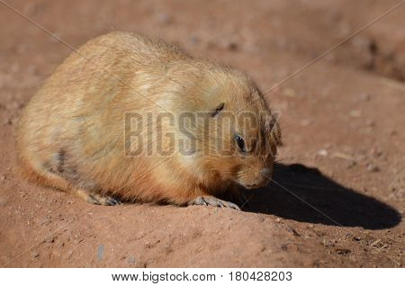 Cute ground squirrel burrowing in the dirt.