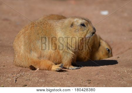 Really sweet pair of overweight black tailed prairie dogs.