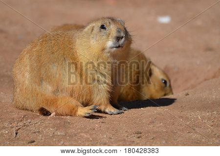 Really cute black tailed prairie dog with an adorable face.
