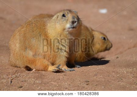 Adorable overweight prairie dog sitting with his friend.