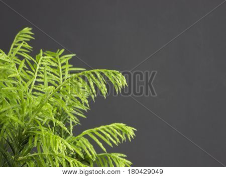 Evergreen pine needles photo background. Young small pine branch selective soft focus. Evergreen bush with green needles and water drops. Ornamental thorns treetop edges