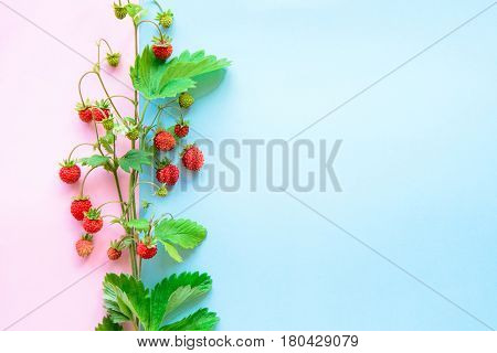 top view of strawberry fruits on bright dual blue and pink color paper background with copy space for text wild summer health concept