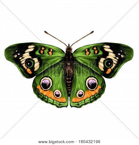 butterfly with open wings top view of symmetry sketch the graph of vector color drawing butterfly with green wings