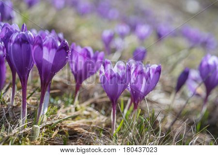 View at sunlit purple crocus flowers in springtime. Morning dew on petals of flowers
