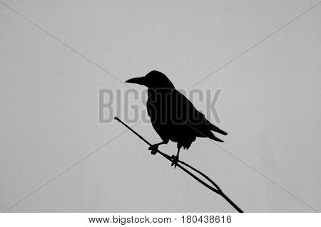 The silhouette of a raven on a branch against the sky
