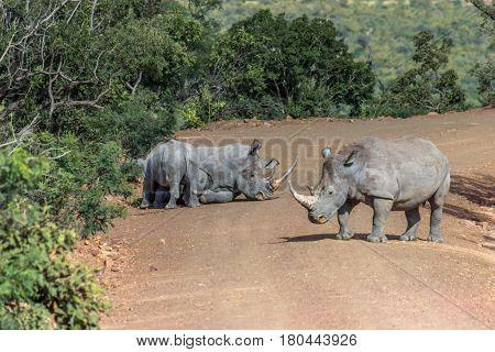 White rhinoceros in resting on a dirt road in Marakele national park