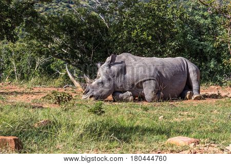 An adult white rhino bull resting in the Marakele national park south africa