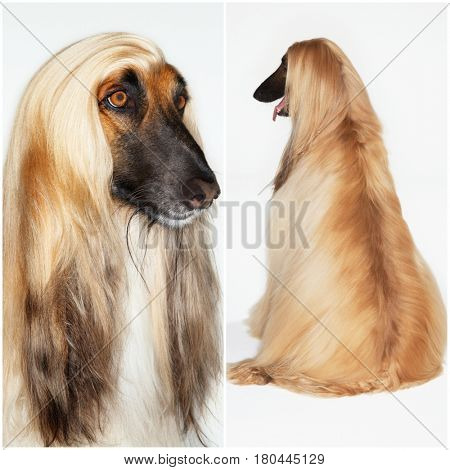 Afghan Hound Collage