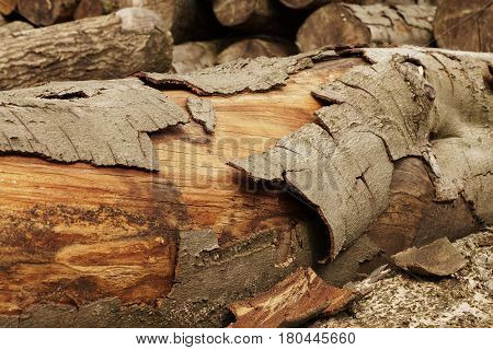Large tree trunks in a forest in the Alps