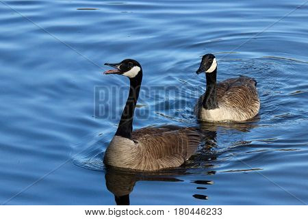 Two Canada geese hoonking aggressively at other birds on the pond