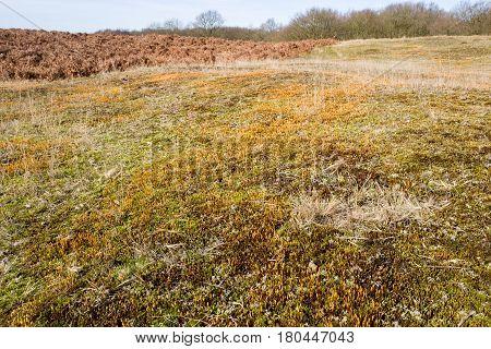 Ceratodon moss in the Amsterdam water abstraction dunes in De Zilk in The Netherlands.