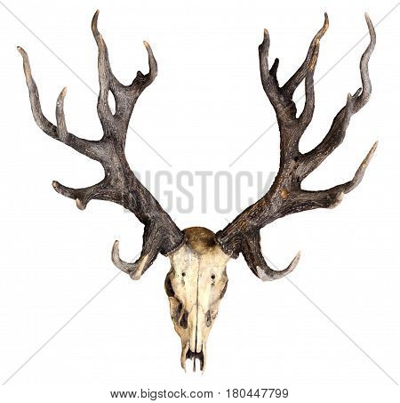 Schomburgk's Deer Head Skull Isolated On White Background, Extinct Animals