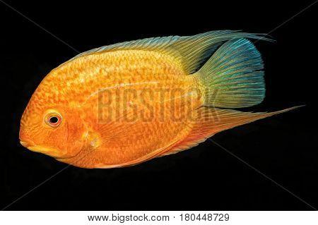 Cichlid Fish (heros Sp.) On A Black Background