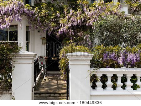 Blossoming wisteria tree covering up a house facade in Notting Hill, London
