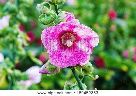 Beautiful Pink Hollyhock Flower In The Garden