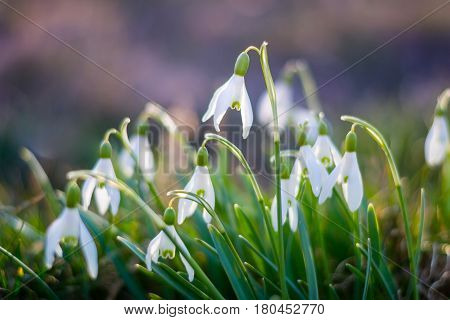 Beautiful Snowdrop flowers in spring. Group of white flowers galanthus nivalis as a symbol of spring. Fresh green with white blossoms. White snowdrop flower.