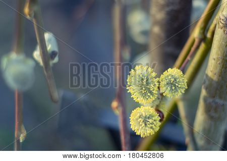 Pussy Willow branch with blooming catkins as symbol of spring. Soft spring background with willow catkins selective focus. Pussy-willow flowers closeup. Beautiful springtime willow with catkins. Spring bright blurred background with copy space.