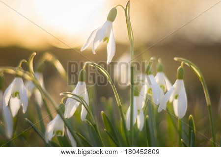 Snowdrop flowers on sunset in spring closeup. Many of white flowers galanthus nivalis as a symbol of spring. Fresh green with white blossoms. Snowdrops flowering season.