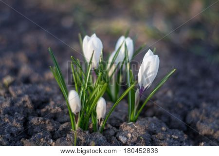 White crocus close up over empty ground in spring. Symbol of nature awakening.. Macro shot of white crocus flower in spring on empty ground as a symbol of awakening nature new day and new beginning.