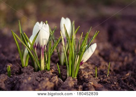 White crocus close up over empty ground in spring. Symbol of nature awakening. Macro shot of white crocus flower in spring on empty ground as a symbol of awakening nature new day and new beginning.
