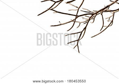 bare tree branches with isolated white background. beautiful natural withered leafless twig woody plant shape.