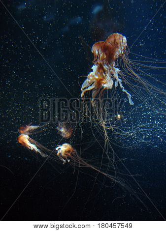 Jellyfish in a dark seawater aquarium tank