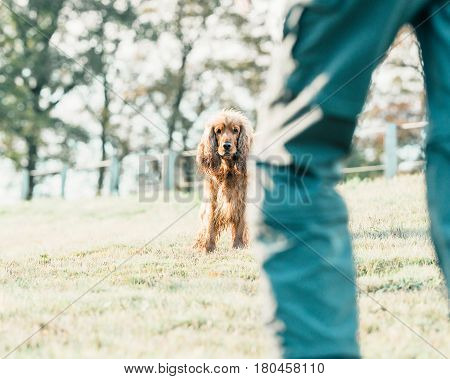 Alert Cocker Spaniel Standing In Meadow Looking At Owner.