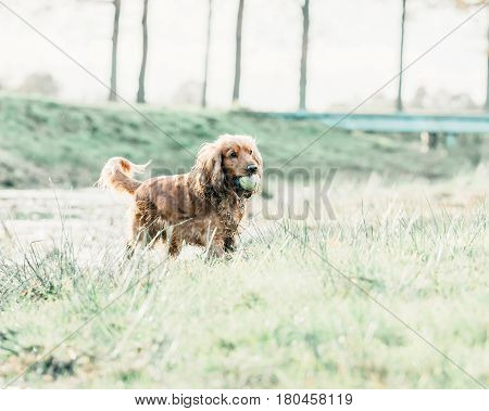 Playful Cocker Spaniel With Tennis-ball In Mouth Standing In Meadow.
