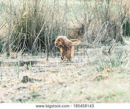 Cocker spaniel standing in a marshy grass.