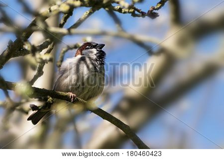 House sparrow male (Passer domesticus) small bird of the family Passeridae sitting in a tree blue sky copy space