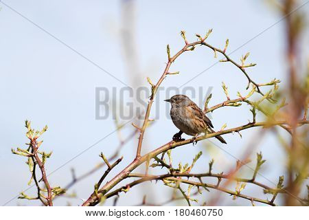 Dunnock (Prunella modularis) a small passerine or perching bird sits in a wild rose bush against the blue sky generous copy space