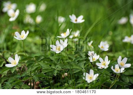 wood anemone flowers white flowering ground cover in the forest in the early spring selected focus narrow depth of field