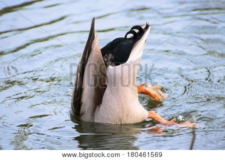 mallard wild duck (Anas platyrhynchos) dives for fodder in the lake concept bury head in the sand (here water) because of fear in business