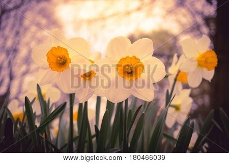 Close-up of Daffodils in spring. White Daffodils in the morning light