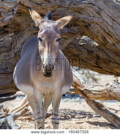 Pregnant  Somali wild donkey (Equus africanus) in Israeli nature reserve near Eilat