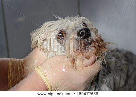 White Havanese is washed in the shower - close-up