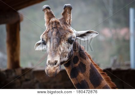 Reticulated giraffe (Giraffa camelopardalis reticulata) also known as the Somali giraffe.