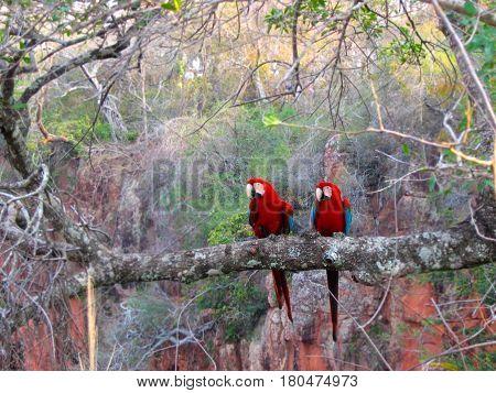 Arara Vermelha da Fauna Brasileira - Amazônia