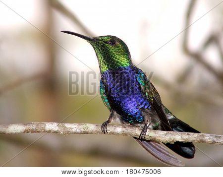 Beija Flor Azul com Verde da Fauna Brasileira - Amazônia